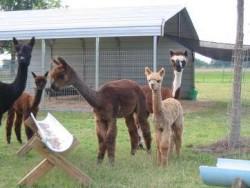 Cushy alpacas